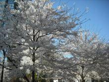 仙台のおいしいもの・宮城のおいしいものをご紹介-仙台 被災地 桜